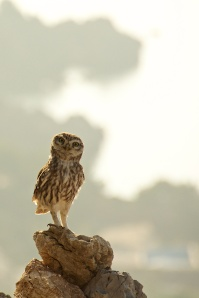 The Little Owl, the most common on the island, keeps an eye on us.  Legend says this owl was a trusty companion of Athena